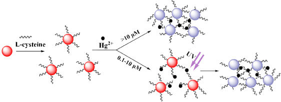 l cysteine functionalized gold nanoparticles for the colorimetric